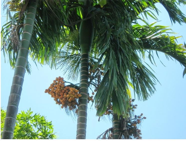 Cây Cau Ta – cây xanh Công Trình