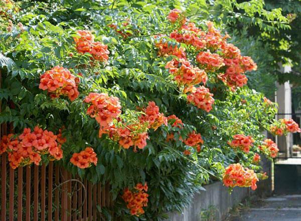 Cây hoa Đăng Tiêu làm Giàn che