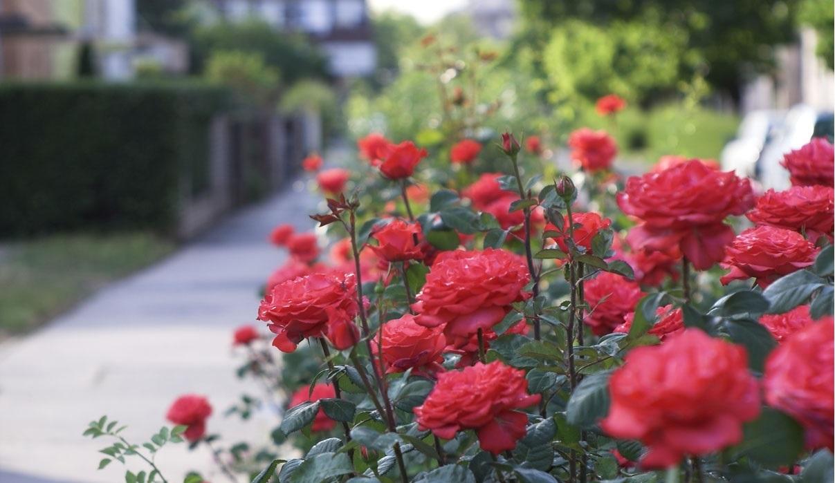 Cây hoa Hồng Nhung khỏe đẹp