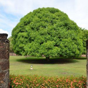 mango-tree-cay-xoai