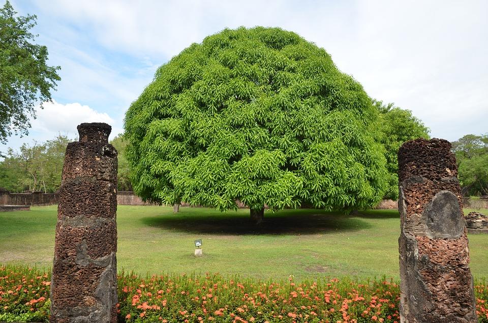 Cây Xoài trồng công trình tán rộng
