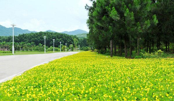Hoa cỏ lạc
