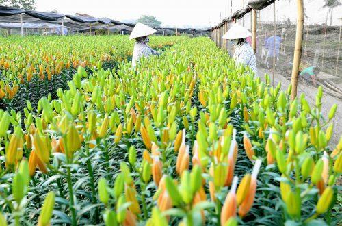 Những làng hoa nổi tiếng ở Hà Nội